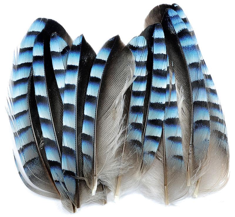 geai plumes bleues autres plumes les plumes montage des. Black Bedroom Furniture Sets. Home Design Ideas